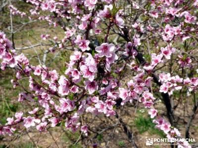 Cerezos en flor en el Valle del Jerte - Prunus dulcis;camino buitrago de lozoya madroño